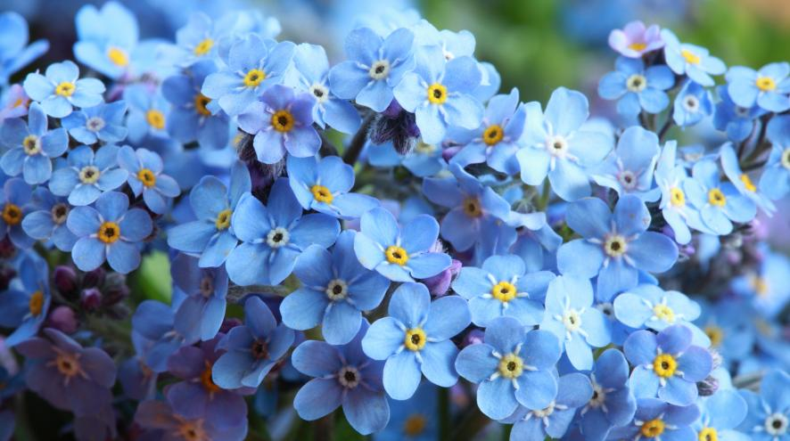 An image of a bundle of Forget-Me-Not flowers, the official flower of the Alzheimer Society.